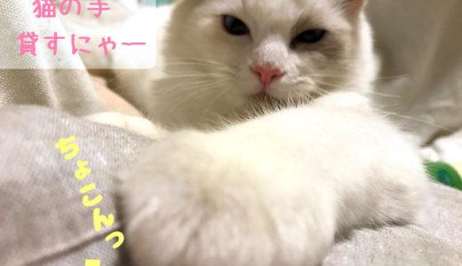 強引に腕を差し出すラグドールの子猫