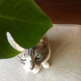 猫と植物をめぐる攻防戦、室内に置いたビニールハウスとベランダで冬越しできた観葉植物