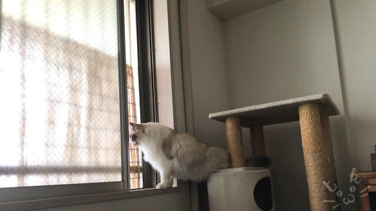 ラグドールが網戸越しに外を覗き見ている