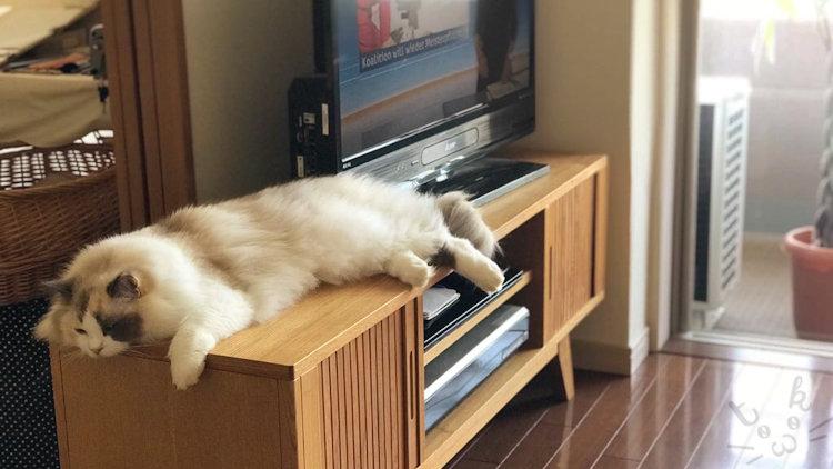 テレビ台の上で伸びて寝ているラグドール