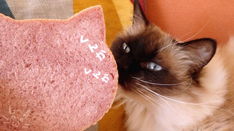 ラグドールがねこ食パンのにおいをかいでいる