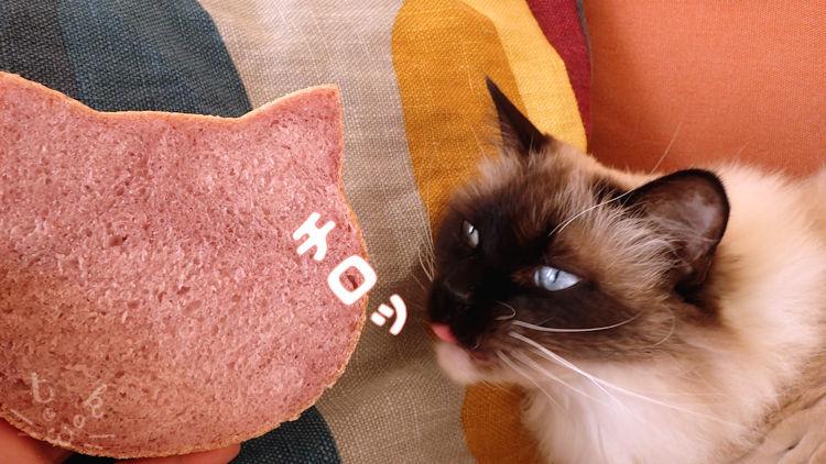 ラグドールがねこ食パンを舐めようとしている