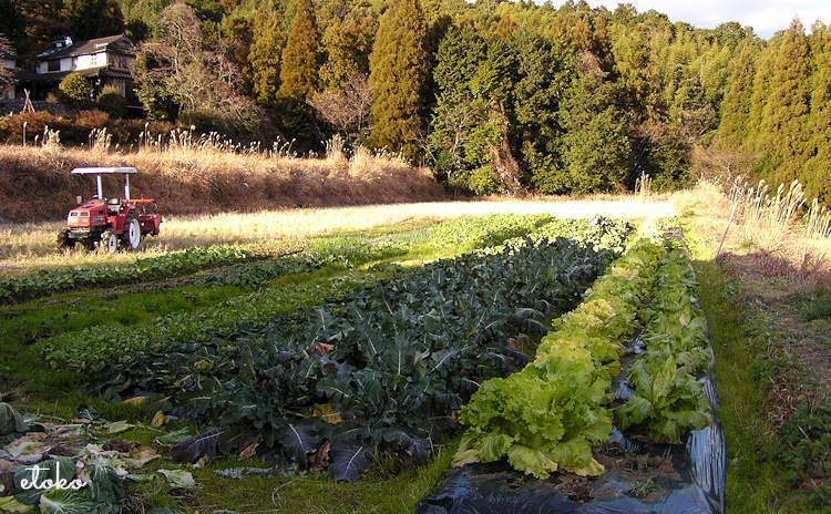 春の畑にキャベツなど葉ものが植わっている