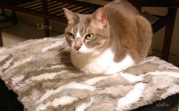 サバトラソックスの猫がクッションの上に座っている