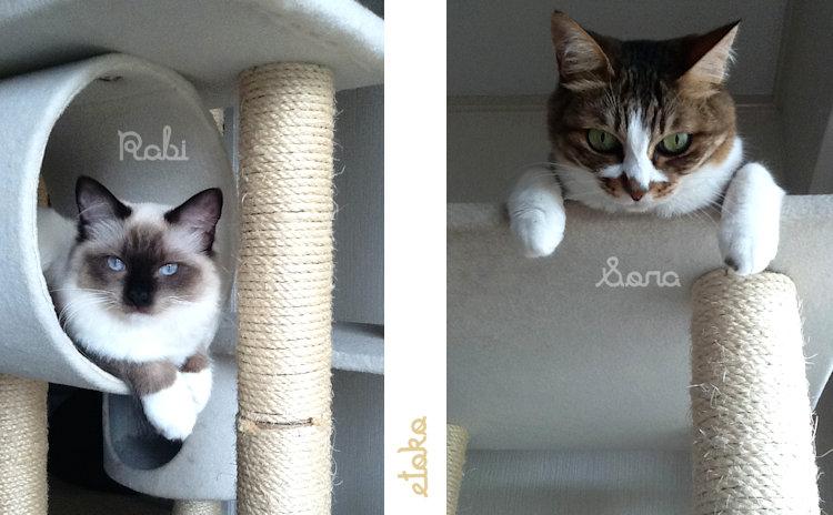 ラグドールの子猫とキジトラソックスの猫がキャットタワーからこちらを見ている