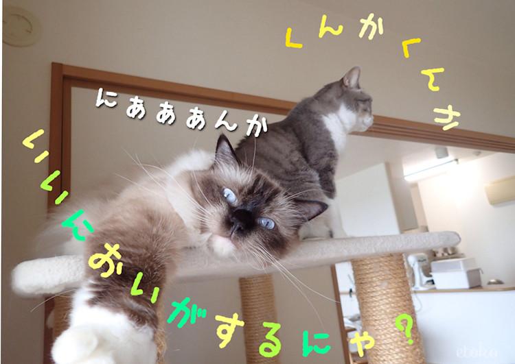 台所の気配をうかがうラグドールとサバトラソックスの猫
