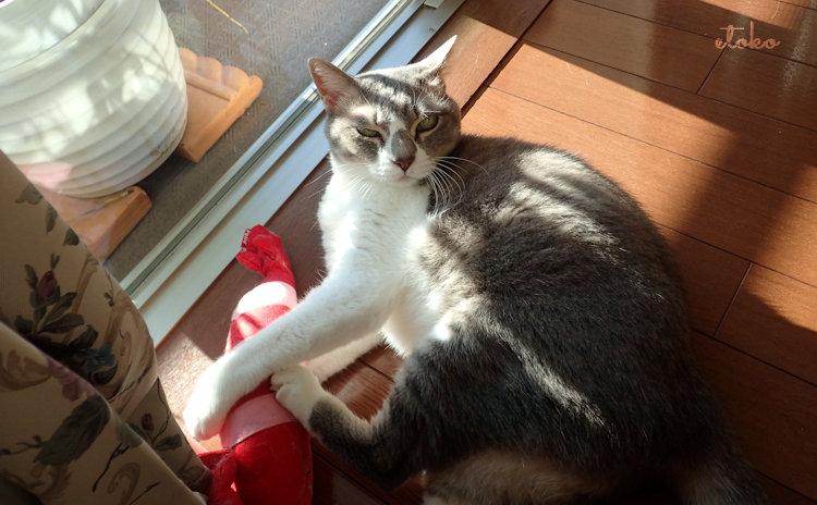 顔つきの悪いサバトラソックスの猫
