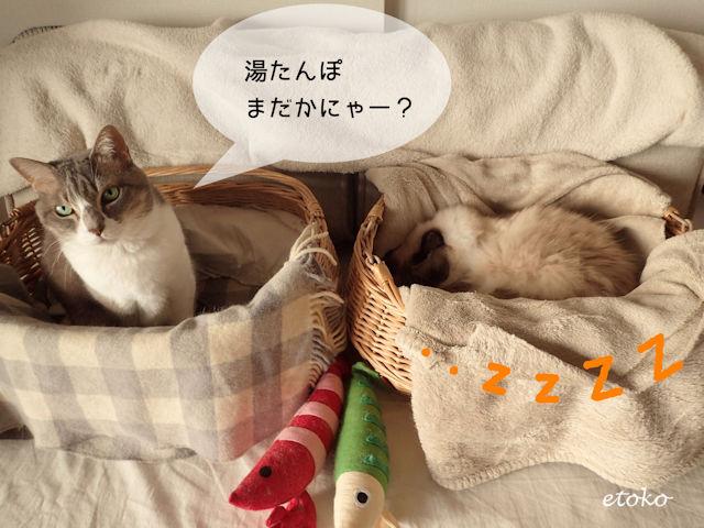湯たんぽのないかごの中でポツンと座り込んで湯たんぽを待つサバトラソックスの猫