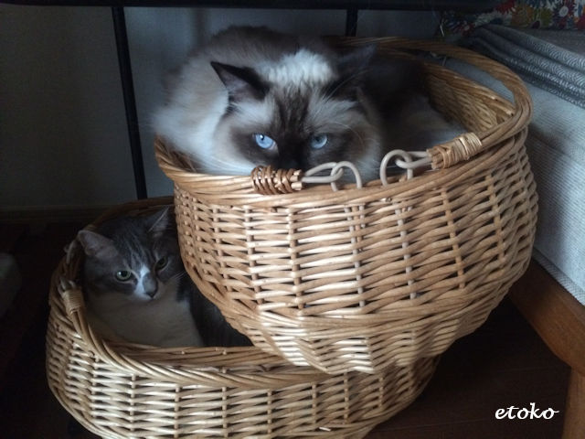 かごを段違いに重ねて作った猫マンションにラグドールとサバトラ猫がそれぞれ入っている
