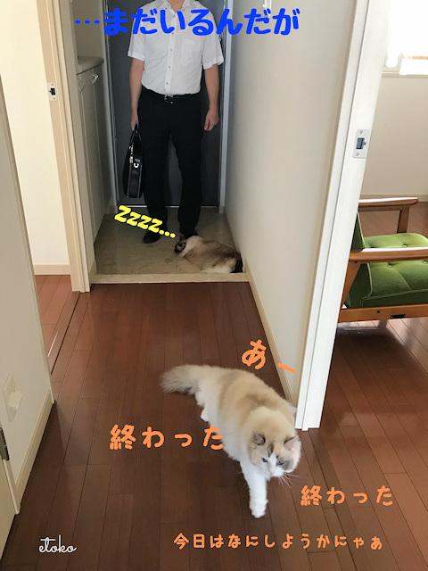 玄関に立つ人の足元で寝転がるラグドールと、玄関に背を向けるラグドール