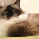 シャクシャク、歯ぎしりのような動作で不満を伝える猫