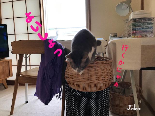 作業机横の猫カゴから飛び出すサバトラソックスの猫