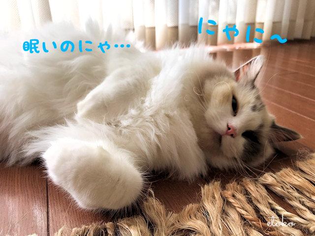 寝ぼけた表情で寝転んだままこちらを見ているラグドール
