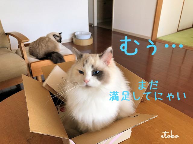 箱の中にぶすくれた表情で座るラグドール