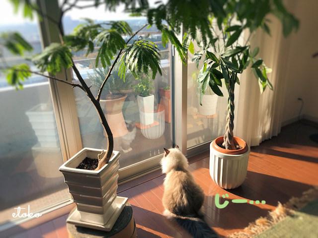 窓際で外を眺めるラグドール