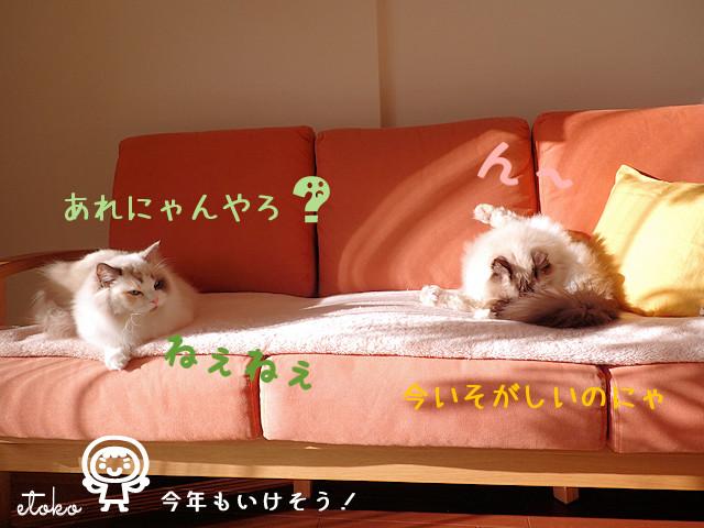ソファの上にラグドールが2匹座っている