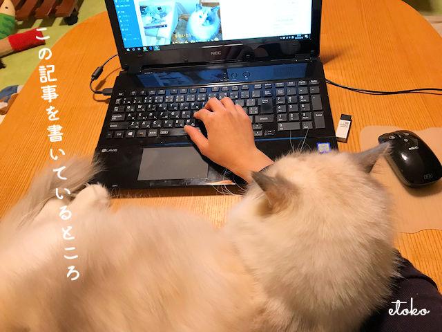 パソコン入力作業を邪魔するラグドール