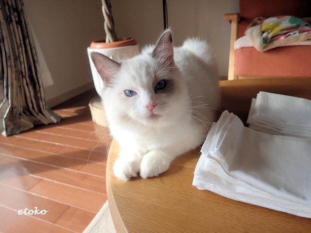 ラグドールの子猫がテーブルの上に置かれた付近の横に座り込んでこちらを見ている