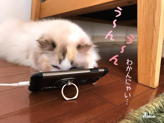 ラグドールがスマホ(iPhone)をのぞき込んでうなっている
