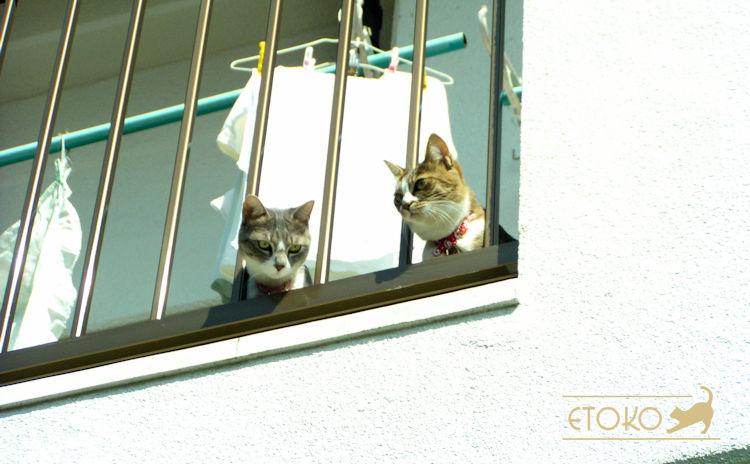 キジトラソックスの猫とサバトラソックスの猫がベランダから顔をのぞかせている