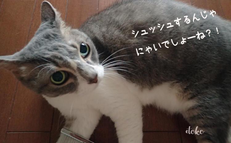 ブラッシングの準備でスプレーをあてたところ、非常に嫌な表情でこちらを見るサバトラソックスの猫