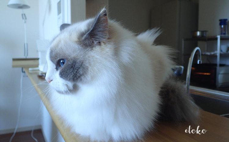 キッチンカウンターの上に座ってそっぽをむくラグドール