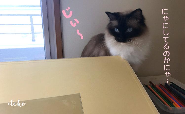 作業テーブルの上にラグドールがいる