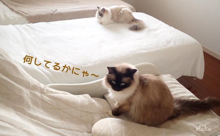 ベッドの上とマッサージチェアの上にラグドールが座っている