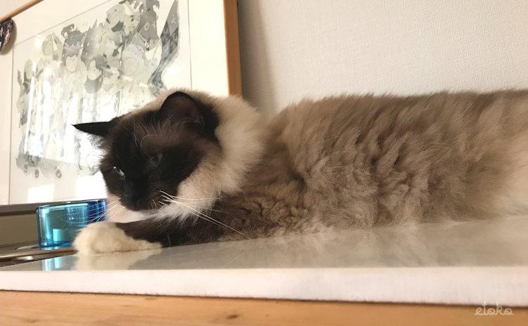 猫部屋のひんやりする御影石の上で寝そべるラグドール