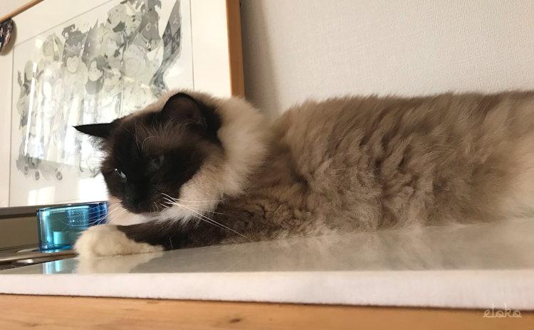 猫部屋でくつろぐラグドール