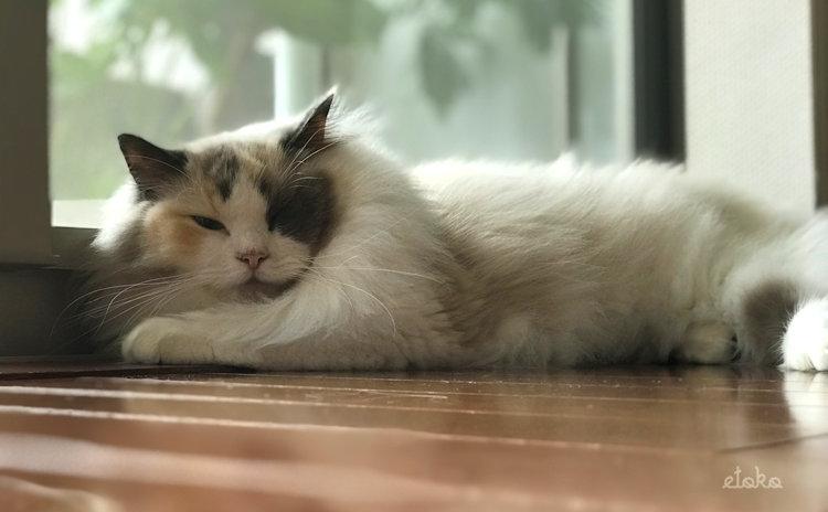 夏バテ気味で床に寝そべるラグドール