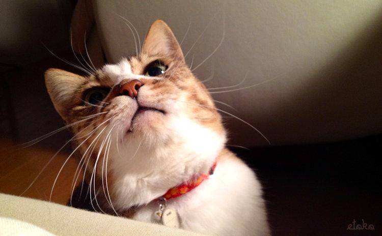 キジトラ白の猫が上を仰ぎ見ている