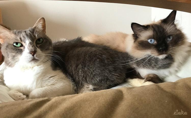 カーキのソファーの上にキジトラ白の猫とラグドールが並んで座っている