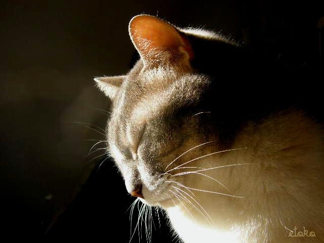 正面から日差しを浴びて首をかしげ気味のサバトラ白の猫