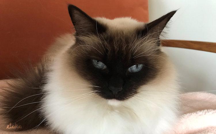 ソファーに座っているきれいに整ったひげのラグドールがこちらを見ている