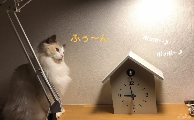 無印良品の鳩時計が鳴っているのを不思議そうに見ているラグドール