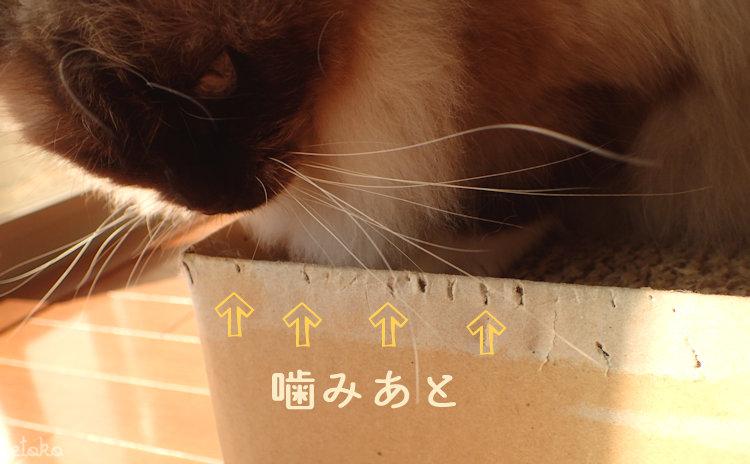 猫用爪とぎの上にラグドールが乗って端をのぞきこんでいる