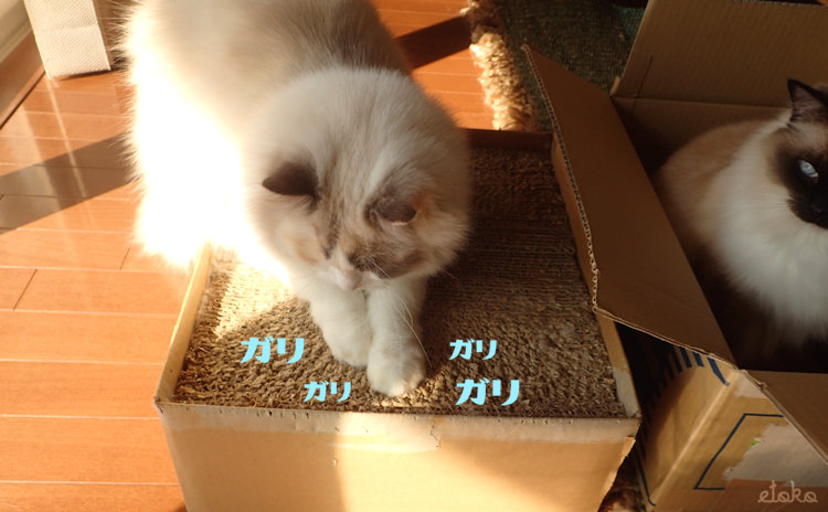 段ボール製の猫用爪とぎでラグドールが爪をといでいる