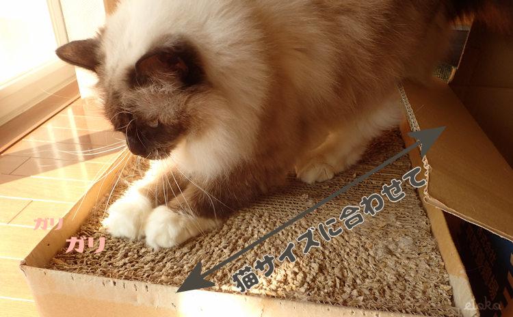 段ボールのフタで作った猫用爪とぎの上でラグドールが爪をといでいる