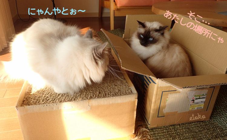 手作り猫の爪とぎの上と箱の中のラグドール2匹がにらみ合っている