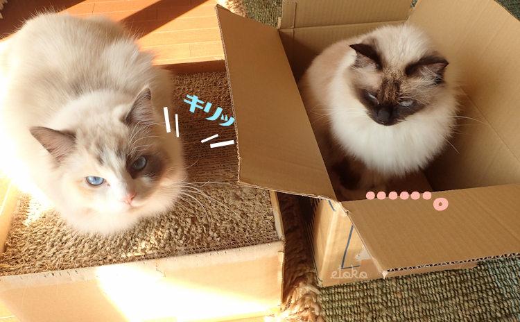 手作りの猫用爪とぎの上で香箱座りをするラグドールと空箱の中に座るラグドール