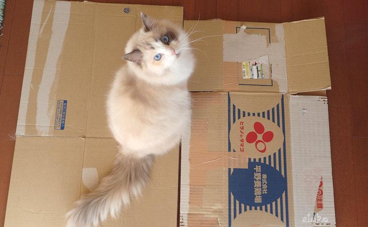 つぶして平らにしたダンボール箱の上にラグドールが座ってこちらを見上げている