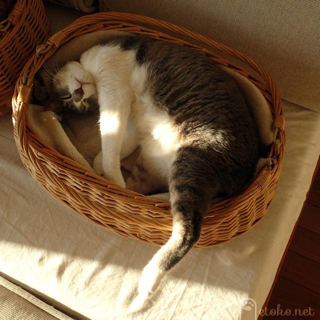 かごから後ろ脚を突き出して寝ているサバトラソックスの猫