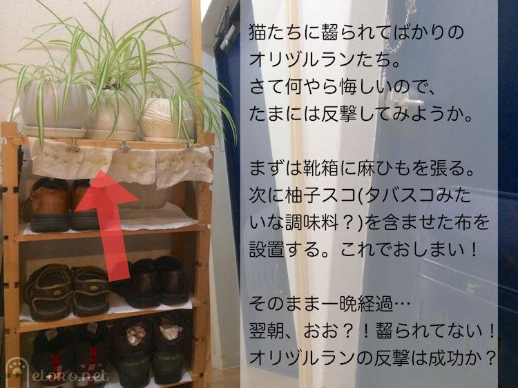 靴箱のシェルフのてっぺんにオリヅルランと植物を守るように柚子スコを塗った布を垂らして猫よけにしている