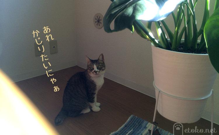モンステラを見つめるキジトラソックスの猫