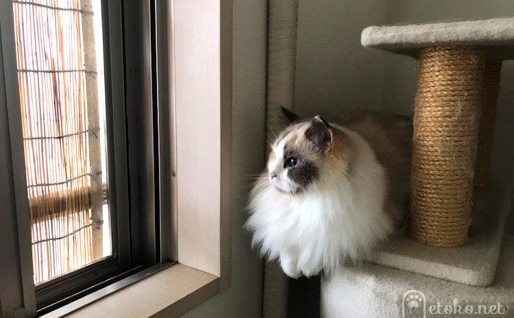ラグドールが窓辺に座り外を眺めている