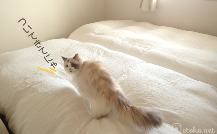 ラグドールがベッドの上に登ってこちらを振り返っている
