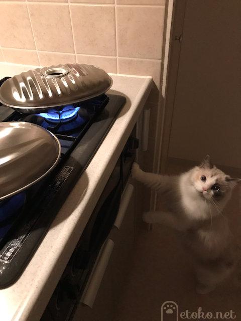 湯たんぽをコンロで沸かしているところ見つめるラグドール