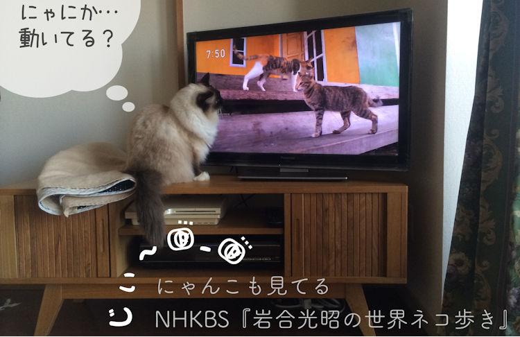 『岩合光昭の世界ネコ歩き』に見入るラグドール