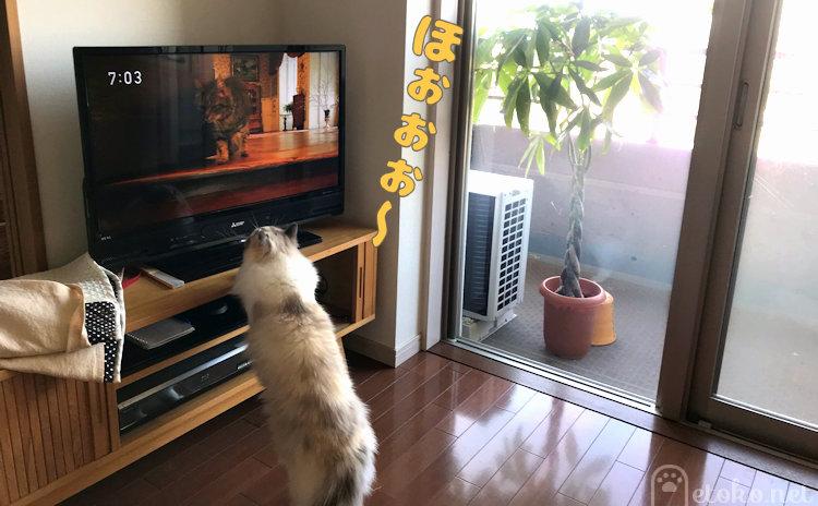 画面に映る猫が歩いているのに見入るラグドール